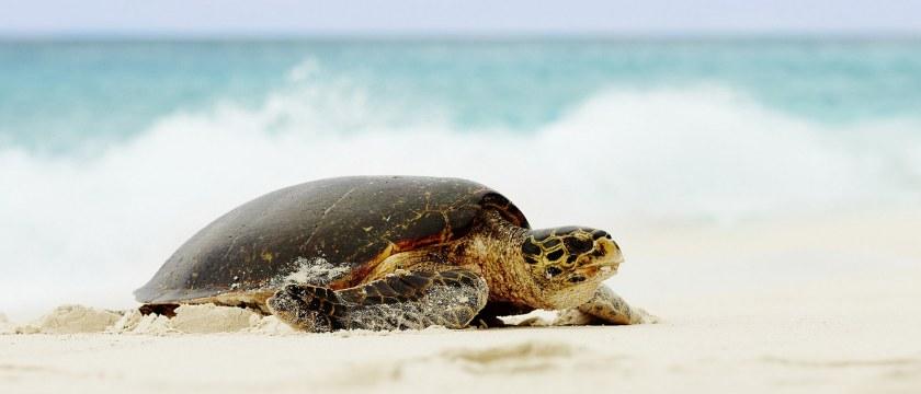 Морская черепаха на Сейшельских островах